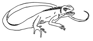 Calotes Sketch